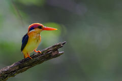 Black-Backed Kingfisher Bird Royalty Free Stock Photos