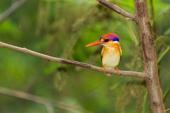 Black-Backed Kingfisher Bird Stock Photography