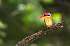 Black-Backed Kingfisher Bird Royalty Free Stock Photography