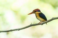 Black-Backed Kingfisher Bird Stock Image