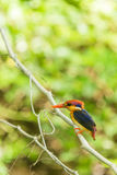 Black-Backed Kingfisher Bird Royalty Free Stock Photos