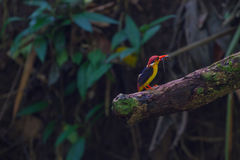 Black-backed kingfisher on the branch in nature Stock Photography
