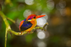 Black-backed Kingfisher Royalty Free Stock Images