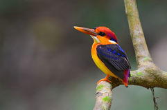 Black-backed Kingfisher Royalty Free Stock Photography