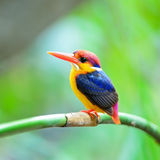Black-backed Kingfisher Royalty Free Stock Photos