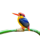 Black-backed Kingfisher Stock Photos