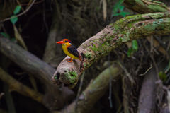 Black-backed oriental dwaft kingfisher on the branch in natur Royalty Free Stock Photography