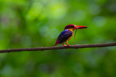 Black-backed oriental dwaft kingfisher on the branch in nature Royalty Free Stock Image