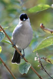 Black-backed Puffback Stock Image