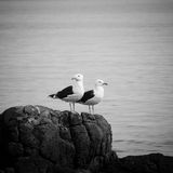 Black-backed sea gulls Royalty Free Stock Images
