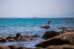 Black-backed seagull. Black-backed Gull standing on the sea rocks Royalty Free Stock Images