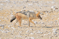 Black-backed, silver-backed or red jackal Royalty Free Stock Photo