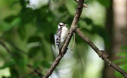 Black-backed Woodpecker During Summer With Green Background Royalty Free Stock Image