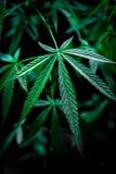 cannabis on a Black background stock photos