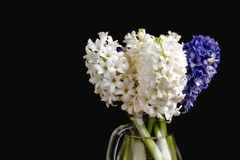 Black Background with Hyacinths in Vase Background with Spring Flowers Bouquet of White and Blue Hyacinths Copy Space. Black Background with Hyacinths in Vase Royalty Free Stock Photo