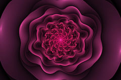 Black background with pink rose in the center. Spiral flower tex Royalty Free Stock Images