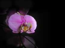 Black background with pink & white orchid. Royalty Free Stock Photo