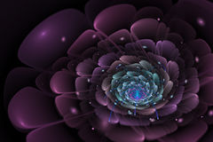 Black background with purple and turquoise flower in the center. Spiral texture, fractal pattern. Marsala rose on dark backdrop Stock Photos
