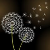 Black background with two dandelions blowing Stock Photo