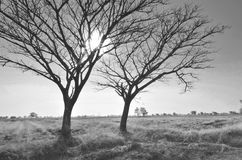Black bald trees with the sun Stock Photography