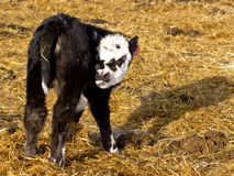 Black baldy calf with tongue sticking out. A brand new baby calf with an extra fuzzy white face on the ranch royalty free stock image