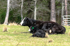 Black baldy cow and calf Royalty Free Stock Photo