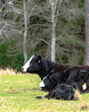 Black baldy cow and calf - vertical. Black baldy cow and calf lying down - vertical Stock Images