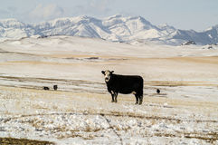 Black Baldy Cows Royalty Free Stock Photography