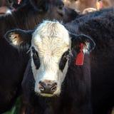 Black baldy heifer face Royalty Free Stock Image