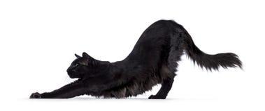 Black Balinese cat on white
