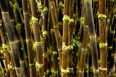 Black Bamboo Forest of Old Hawaii stock photo