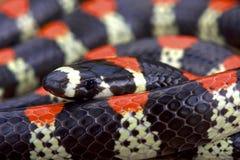 Black-banded centipede eating snake (Scolecophis atrocinctus) Stock Photos