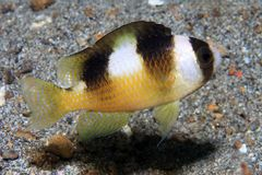 Black-banded Damselfish. (Amblypomacentrus breviceps) in the waters of indonesia Royalty Free Stock Photography