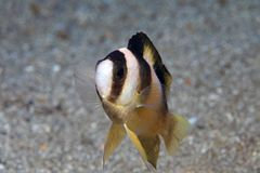 Black-banded Damselfish. (Amblypomacentrus breviceps) in the waters of indonesia Royalty Free Stock Photos