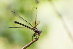 Black-banded Gossamerwing - Portrait of damselfly Royalty Free Stock Photography