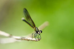 Black-banded Gossamerwing - Portrait of damselfly Stock Photography