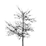 Black bare wild apple tree photo silhouette on white Royalty Free Stock Photography