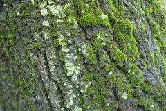 Black bark of tree covered with moss and lichen. S Royalty Free Stock Images