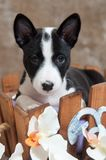 Black Basenji dog puppy is sitting in the basket Stock Photo