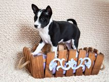 Black Basenji dog puppy is sitting in the basket Royalty Free Stock Images