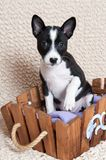 Black Basenji dog puppy is sitting in the basket Stock Images