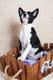 Black Basenji dog puppy is sitting in the basket Stock Photos