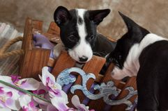Black Basenji dog puppy is sitting in the basket Royalty Free Stock Photography