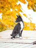 Black bassenji sitting on wooden pier surrounded by autumn leave royalty free stock photos
