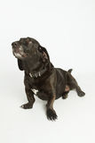 Sad Looking Bassador. Black Basset Hound / Labrador Retriever mix looking sad royalty free stock photography