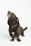 Howling Bassador. Black Basset Hound / Labrador Retriever mix looking sad royalty free stock image