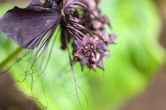 Black bat flower across with long whiskers Royalty Free Stock Image