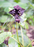 Black bat flower across with long whiskers Stock Photography