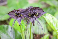 Black bat flower across with long whiskers. Close up of  black bat flower or Tacca chantrieri Royalty Free Stock Photos