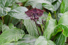 Black bat flower or Tacca chantrieri Stock Photo